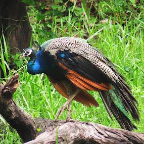 Peafowl.... by Asim Mandal - Animals Birds