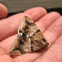 Castor Oil Semi-Looper Moth (captured by Gecko)