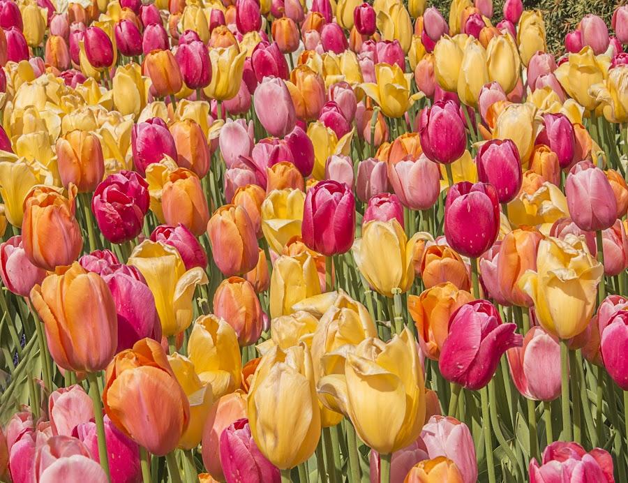 Tulips by Sue Matsunaga - Flowers Flower Gardens