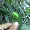 green crowned slug moth
