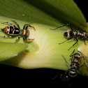 Jumping Spider & Golden-tailed Spiny Ants