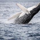Humpback Whale (Habenero's Calf)