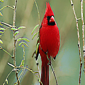 Cardinal Bird Sound Effects