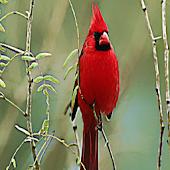Cardinal Bird Sound Effects