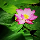 Lotus Flowers Backgrounds
