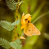 Orange Sulfur on Partridge Pea