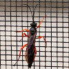 Ichneumon wasp