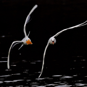 Luftkampf/ air fight by Horst Winkler - Animals Birds ( bird, wien, vienna, möwe, seagull, fight, seagulls, vögel, möwen, birds, fighter,  )