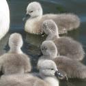 Mute Swan Cygnets part 1