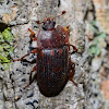 Sap Feeding Beetle