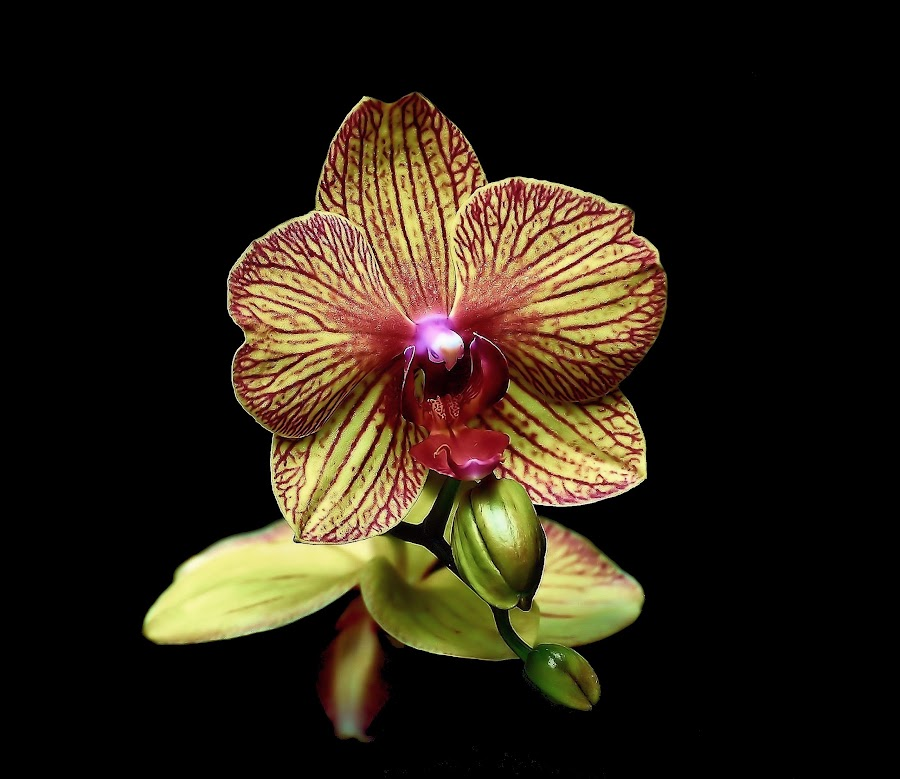 Phaleanopsis orchid by Liz Crono - Flowers Single Flower ( red, paeleanopsis, orchid, green )