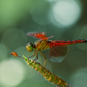 red DRAGONfly & Bokeh by Robert  Fly - Animals Insects & Spiders ( macro, red, nature, fly, insect, dragonfly, bokeh )