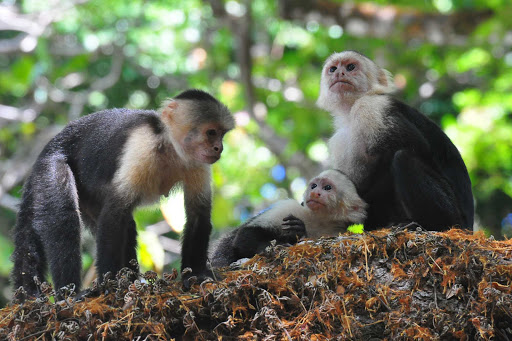 A gathering of white-headed capuchin monkeys near Puerto Quepos, Costa Rica.