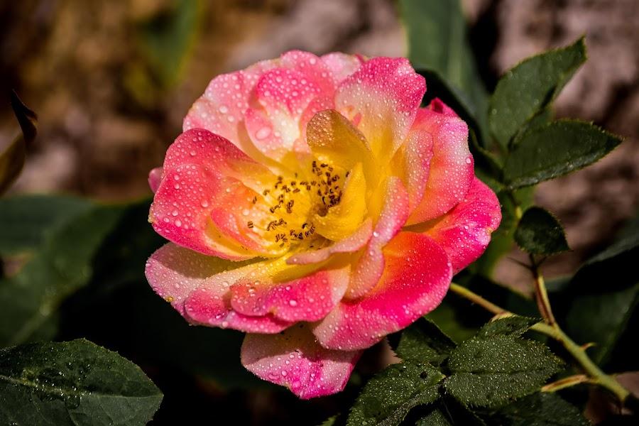 Rose by Scott Morgan - Flowers Single Flower ( water, rose, single, drops, wet, flower,  )