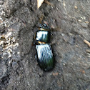 Patent Leather Beetle ( Bess Beetle)