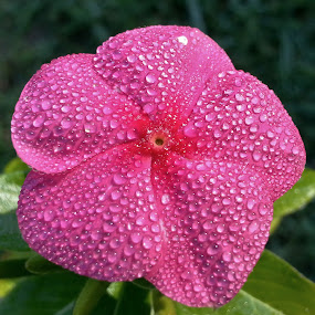 Flower With Raindrops by Matthew Beziat - Flowers Single Flower ( pink flowers, flowers with raindrops, pink periwinkle, anne arundel county, garden flowers, raindrops, pasadena maryland, periwinkle, , colorful, mood factory, vibrant, happiness, January, moods, emotions, inspiration )