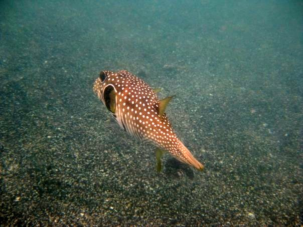 White-spotted puffer, or Stripebelly puffer