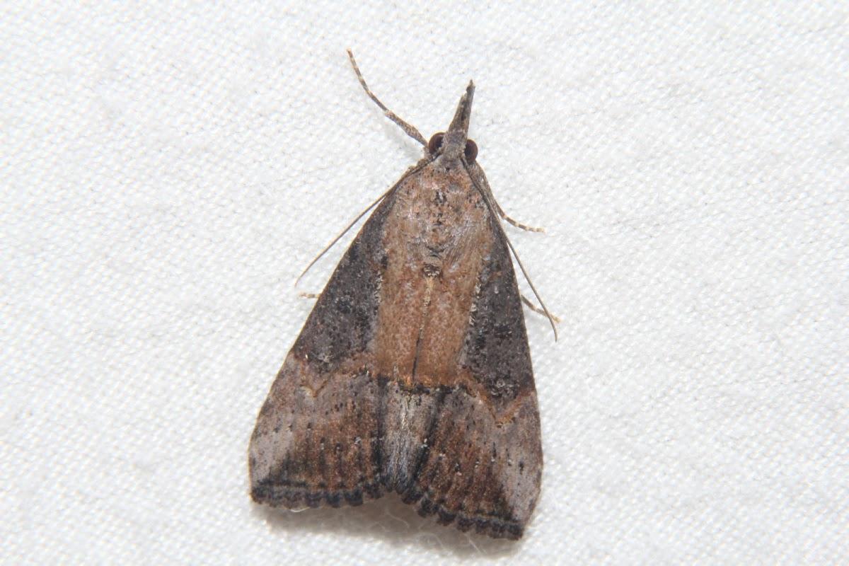 Green Cloverworm Moth - Hodges#8465
