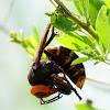 a hornet captured a beetle