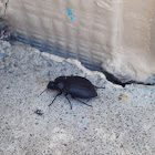 Trout Stream Beetle
