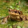 Sapo común (Common toad)
