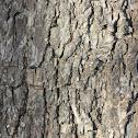 Texas Pecan Tree