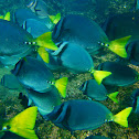 Razor Surgeonfish