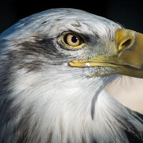 Eagle Eye by E.g. Orren - Animals Birds ( bald eagle profile, , color, colors, landscape, portrait, object, filter forge )
