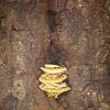 Yellow Shelf Fungus