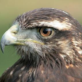 Harris Hawk Watching by Robert Hamm - Animals Birds ( hunter, carnivore, otavalo, bird of prey, ecuador, nature, outdoor, harris hawk, raptor, meat eater, bird sanctuary, hawk,  )