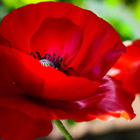 just a peek.... by Tanya Popove - Flowers Flowers in the Wild ( wild, red, poppy, up, close )