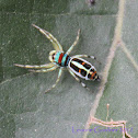 Peacock Jumping Spider (male)