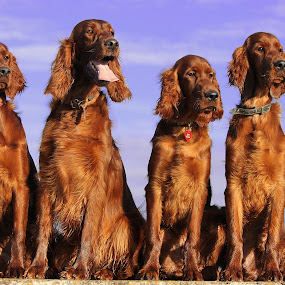 Meet the family by Ken Jarvis - Animals - Dogs Portraits ( natural light, breed, joy, pack, cute, natural background, puppies, adorable dogs, nature, happy, mamal, baby, animal, pedigree, irish setter, male, animalia, adult, young, portrait, sit, canine, vertebra, joyful, resting, sitting, animal kingdom, female, pet, zoology, puppy, rest, companion dog, dog, natural )