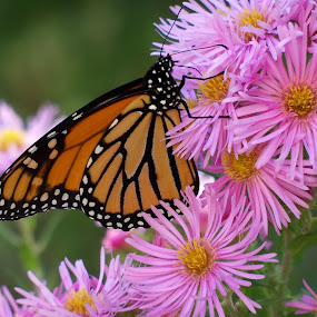Monarch Butterlfy.jpg