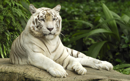 Tiger Fan Wallpapers