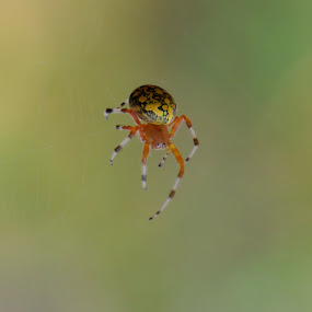 Colorful Spider by Richard Holcomb - Animals Insects & Spiders