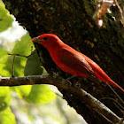 tangara roja