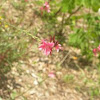 Southern Beeblossom -