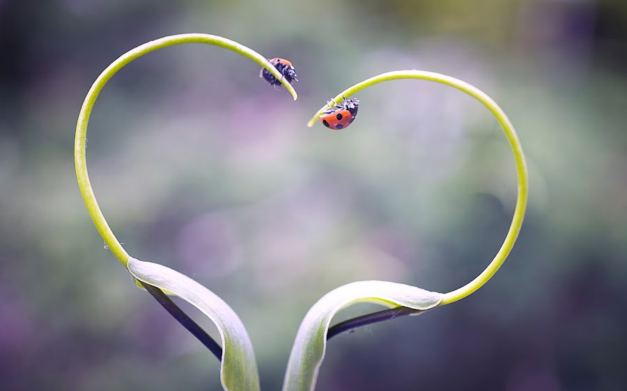 Love by David Tamayo - Novices Only Macro ( love, animals, macro, red, vintage, macro photography, ladybug )