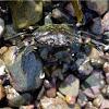 Carcinus maenas (Cangrejo. Shore Crab)