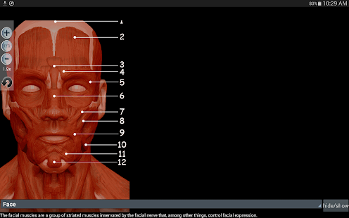Anatomy Muscles- screenshot thumbnail