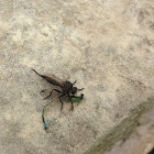 Robber Fly caught a Damselfly