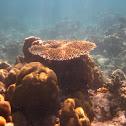 Table stony coral