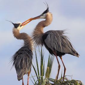 Courting Great Blue Herons by Sandra Blair - Animals Birds ( great blue heron, bird, wading bird, wetlands, florida, heron,  )