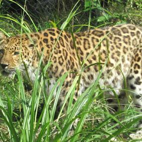 Leopard by Patrick Jones - Animals Lions, Tigers & Big Cats ( big cat, leopard )