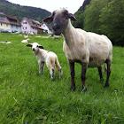 Sheep Schaaf