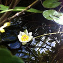 Pigmy water lily