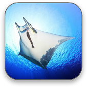 Sea Manta Free Video Wallpaper