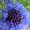 Corn Flower, Batchelor's Button