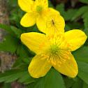 Yellow anemone/Zlatična vetrnica
